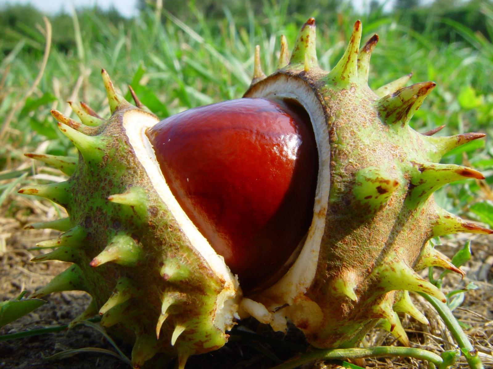 Как посадить каштан, чтобы из плода выросло полноценное дерево