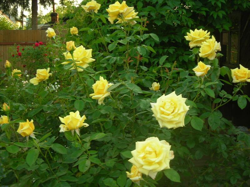 фото роза беролина чайно-гибридная