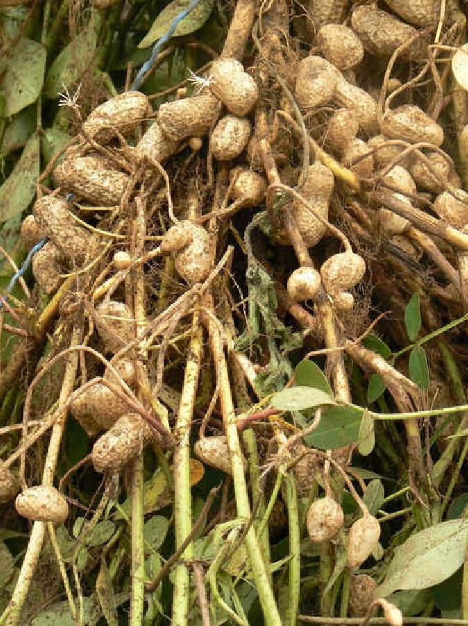 Что такое орех арахис выращивание 936