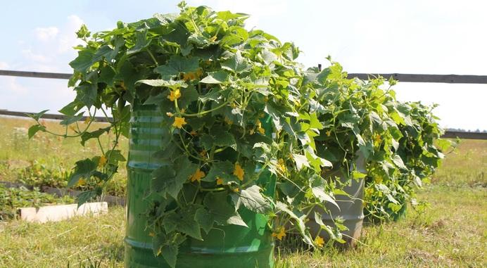 Как получить урожай огурцов в июне 7