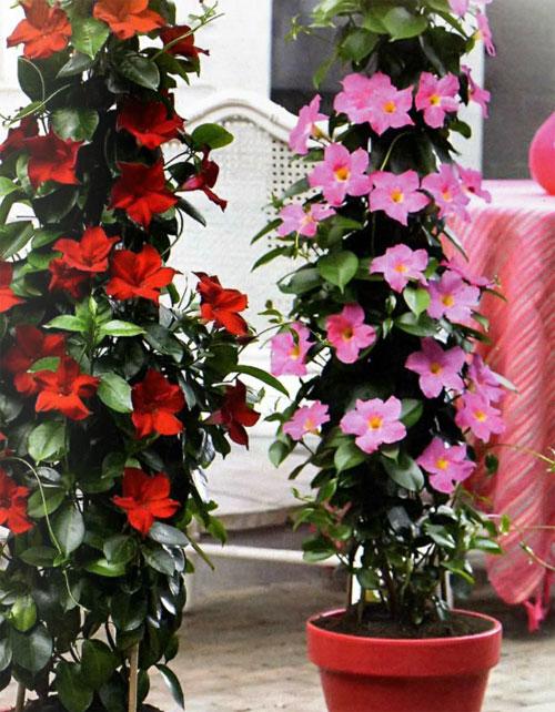 Комнатный цветок дипладения и уход