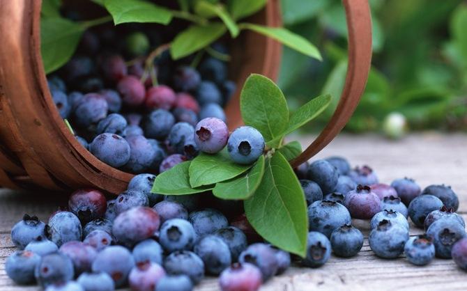 Выращивание голубики садовой посадка, размножение, уход, Советы садоводам