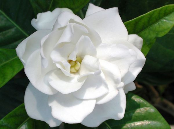 Корделия цветок
