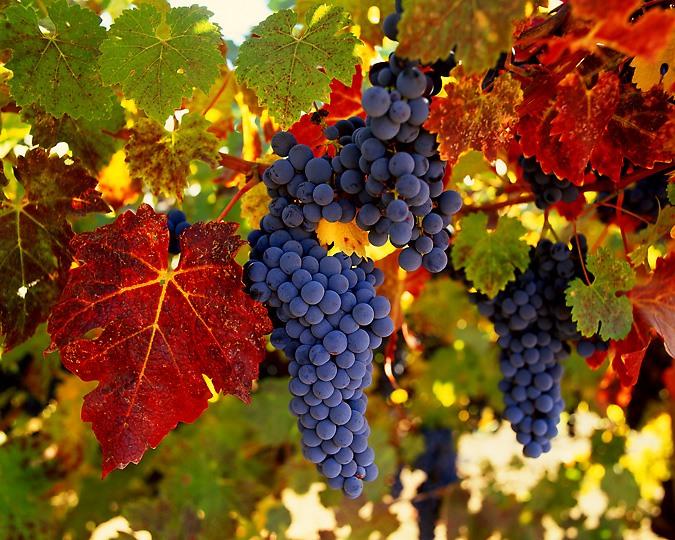 http://ogorodsadovod.com/sites/default/files/u79/2015/11/grape1.jpg