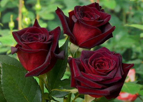 http://ogorodsadovod.com/sites/default/files/u79/2015/11/rose1_0.jpg