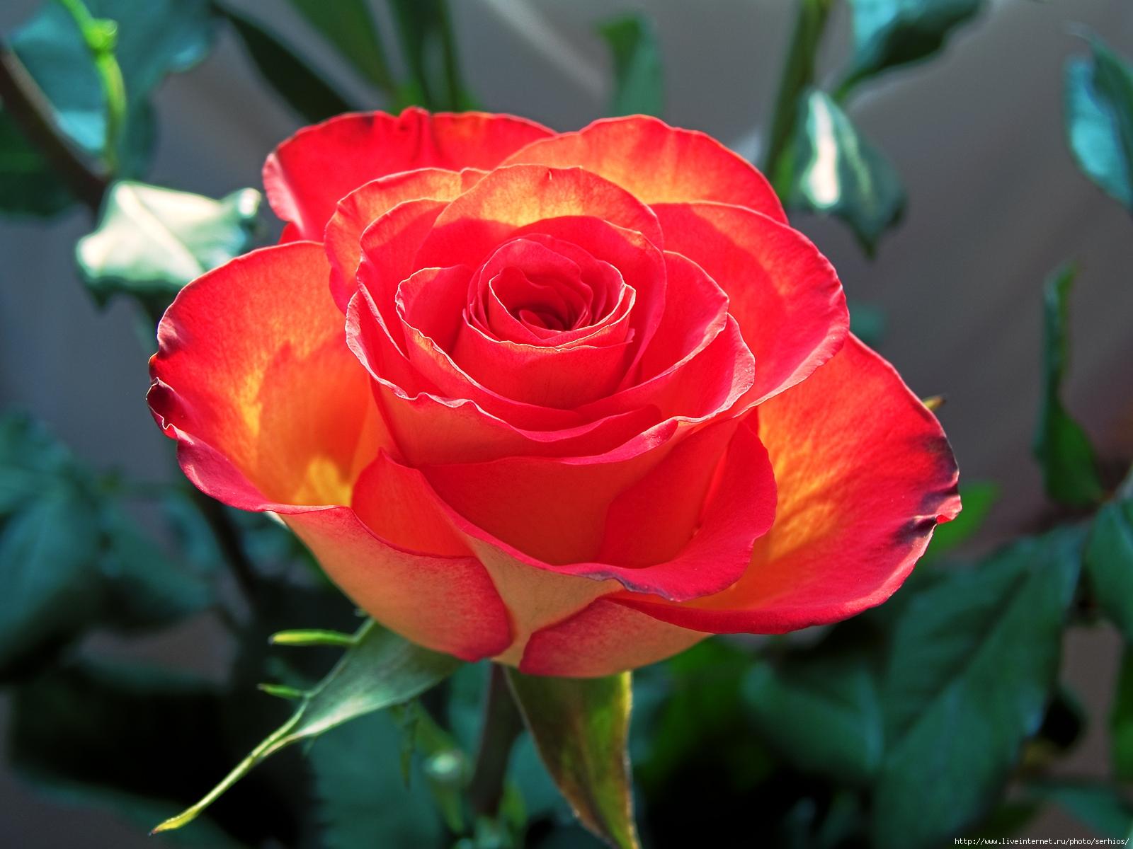http://ogorodsadovod.com/sites/default/files/u79/2015/11/rose2.jpg