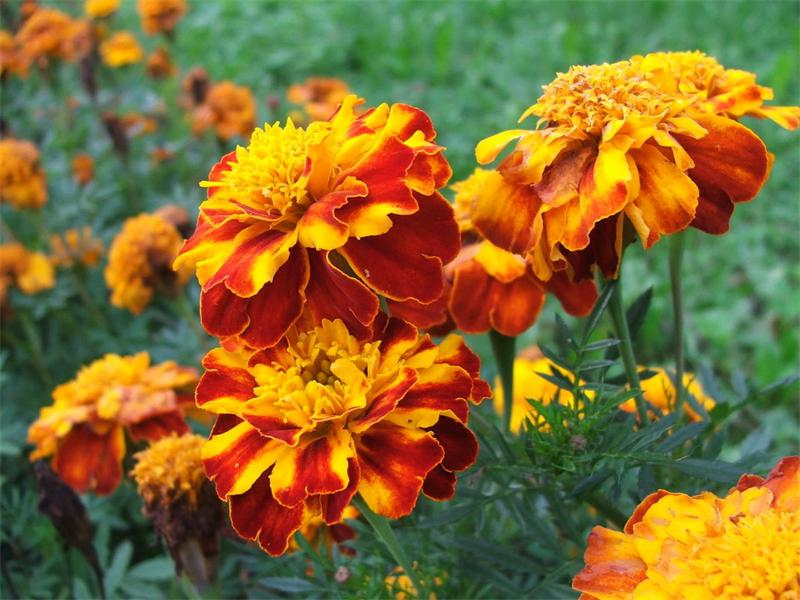 Чернобривцы цветы фото