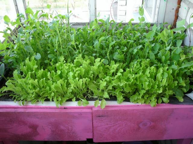 Как вырастить зелень дома в зимний период.
