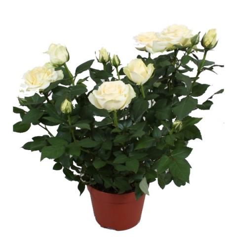 Фото цветка домашняя роза 79