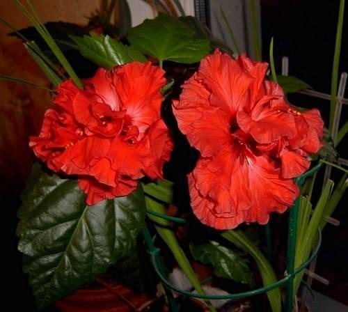Китайская роза фото домашняя