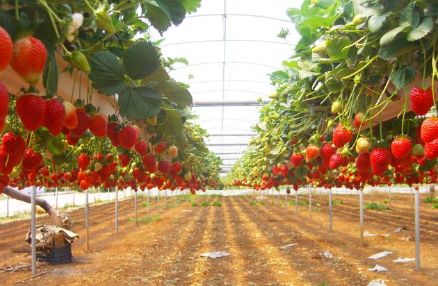 Сорта и технология выращивание клубники 979