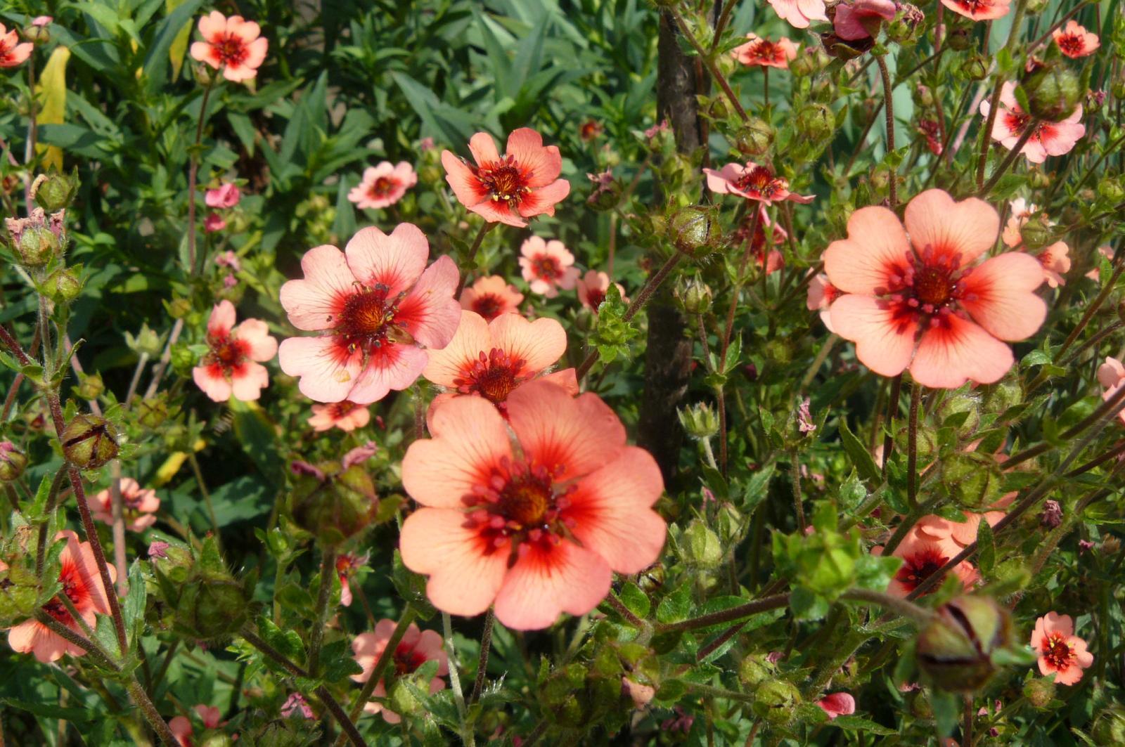 Фото цветок лапчатка непальская