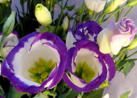 Цветок эустома фото описание