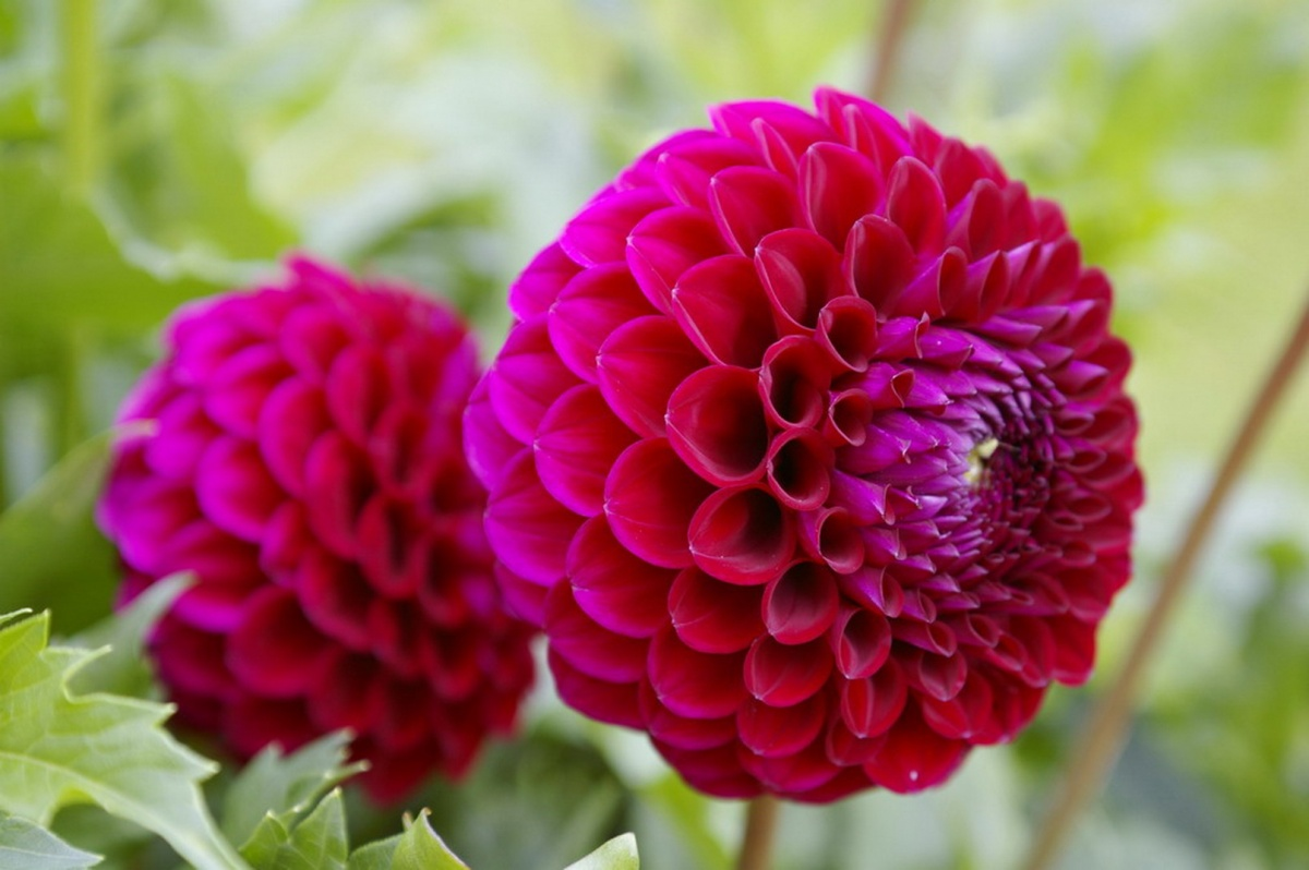 Георгины цветы фото