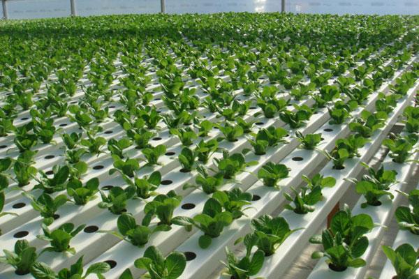 Выращивание зелени на гидропоники