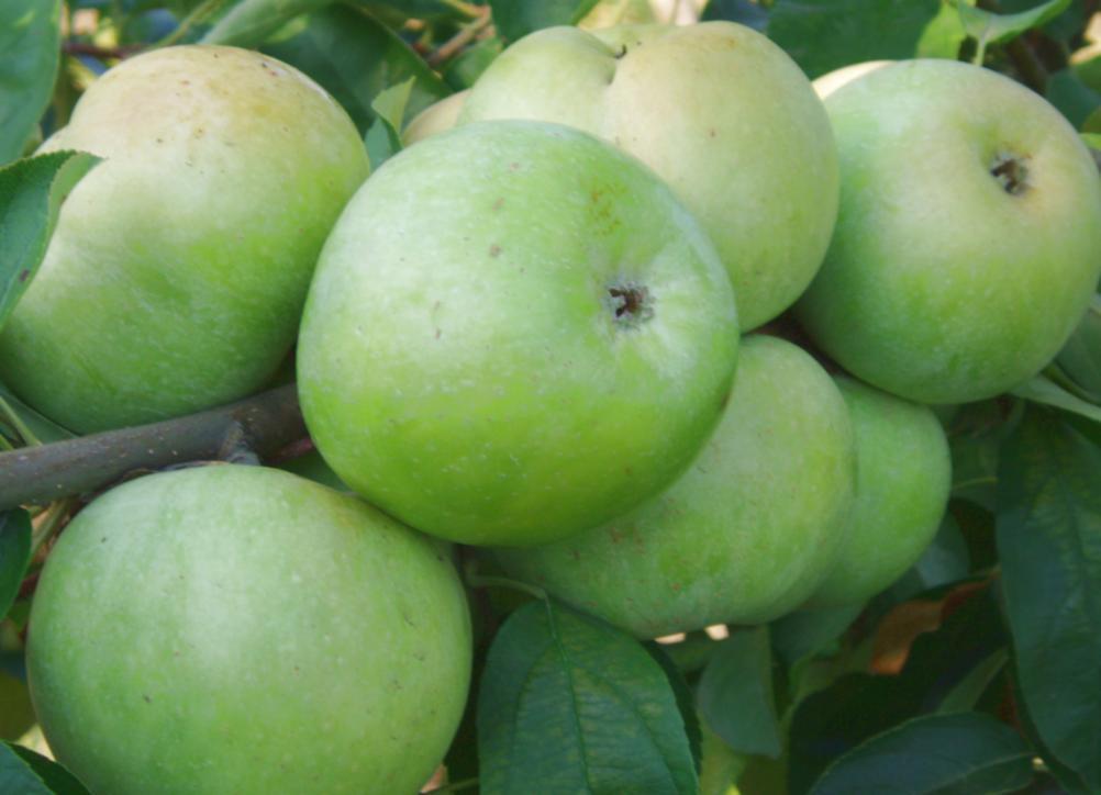 сорт яблок семеренко описание фото