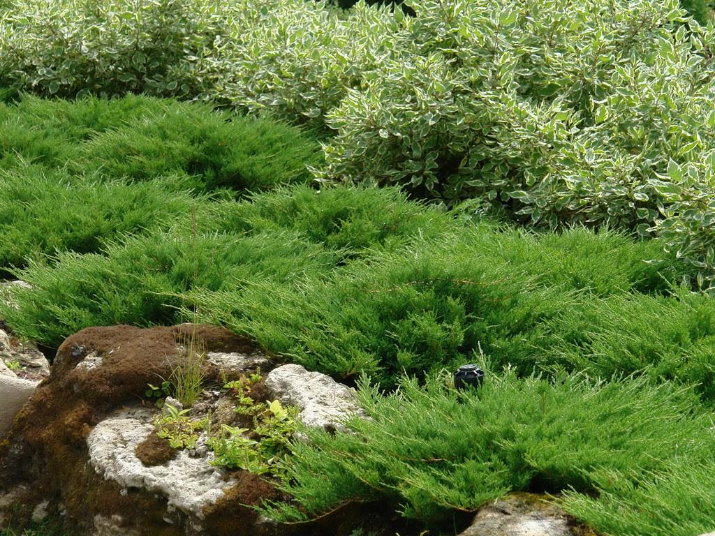 растений картинки вечнозелёных