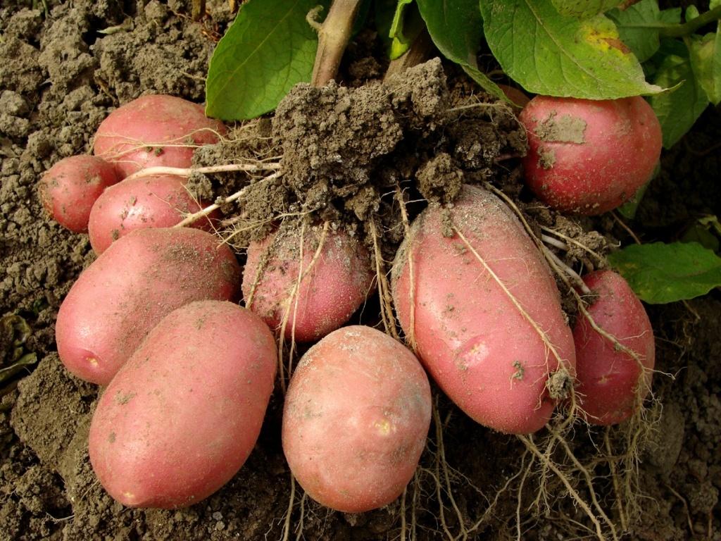 Картофель Розара: описание сорта, полноценный уход от посадки до сбора урожая 97