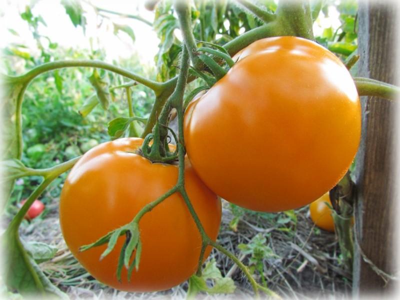 помидор хурма описание