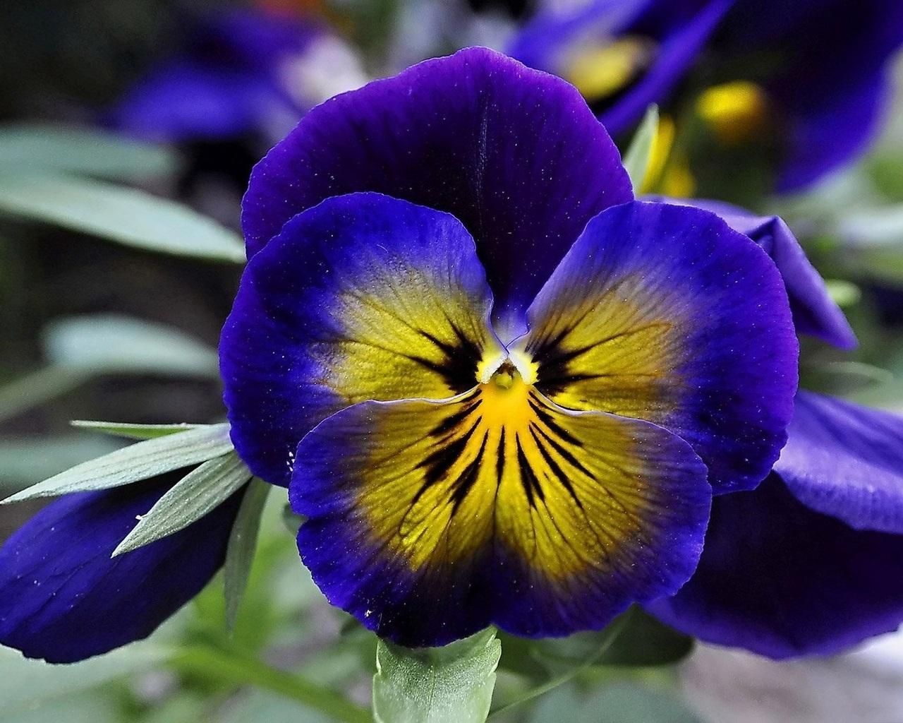 картинки фото цветы анютины глазки