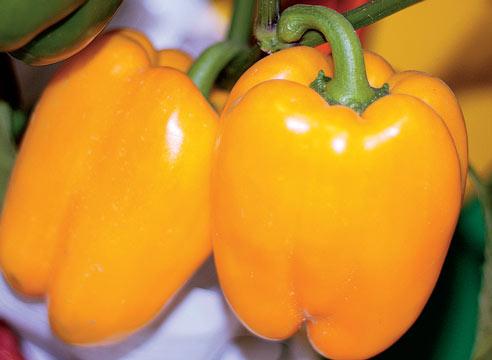 перец оранжевое чудо фото описание