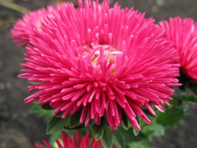 Цветы астра фото цветов