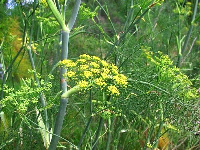 фенхель трава