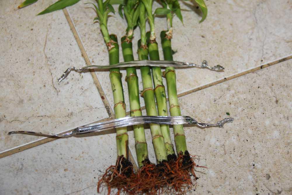Посадка бамбука домашних условиях