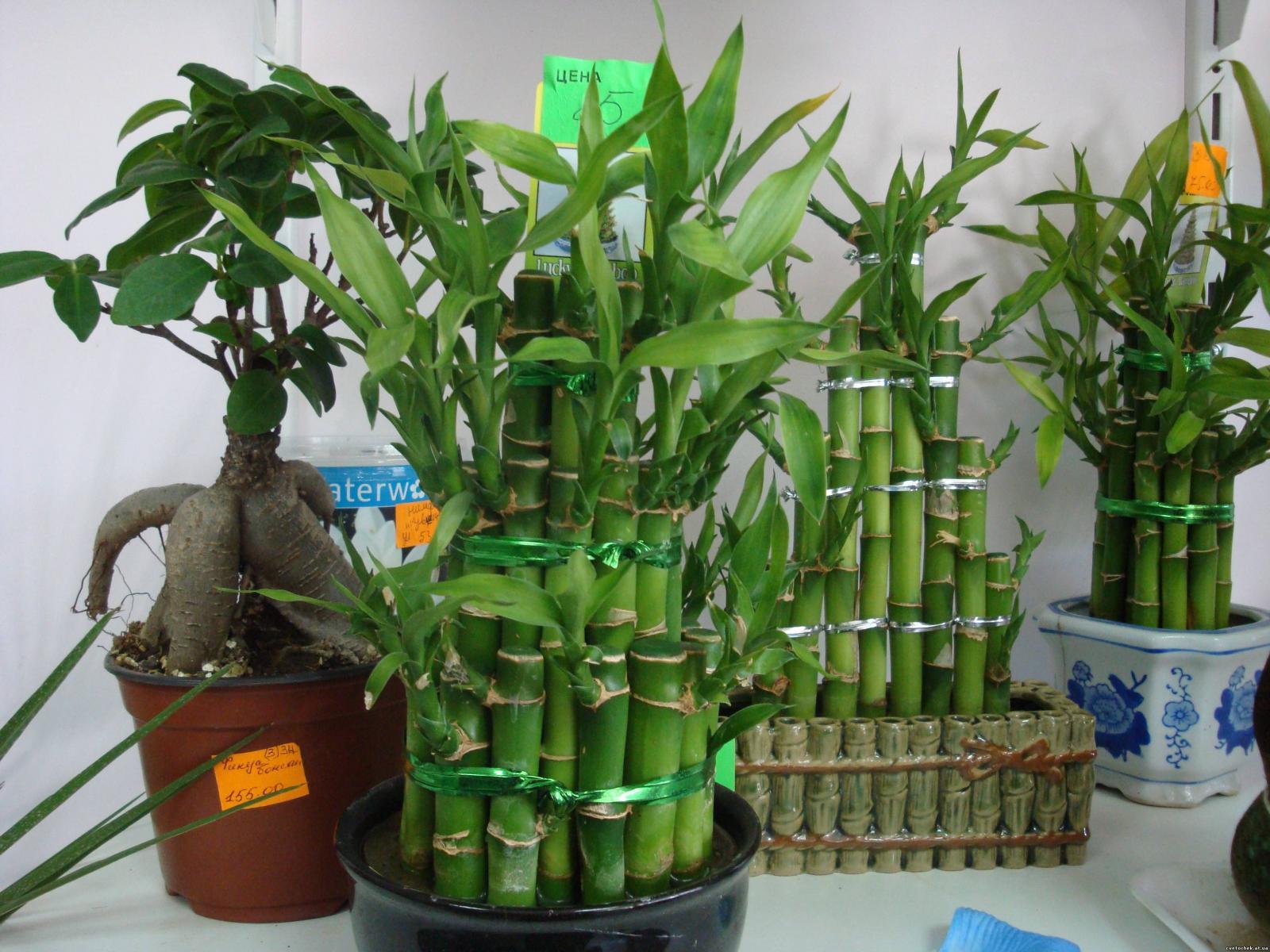 Как в домашних условиях вырастить бамбук