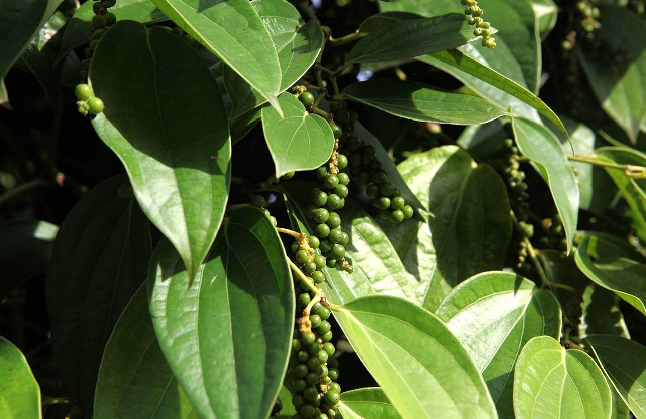 фото растение перец горошек