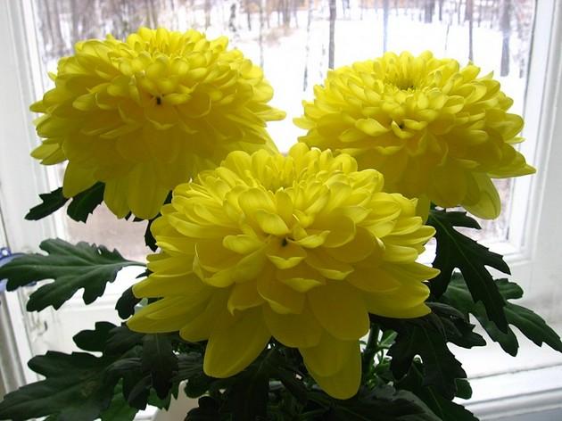 Цветы хризантема