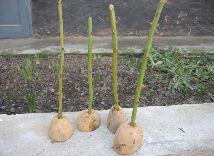 Выращивание черенков роз в картошке в домашних условиях