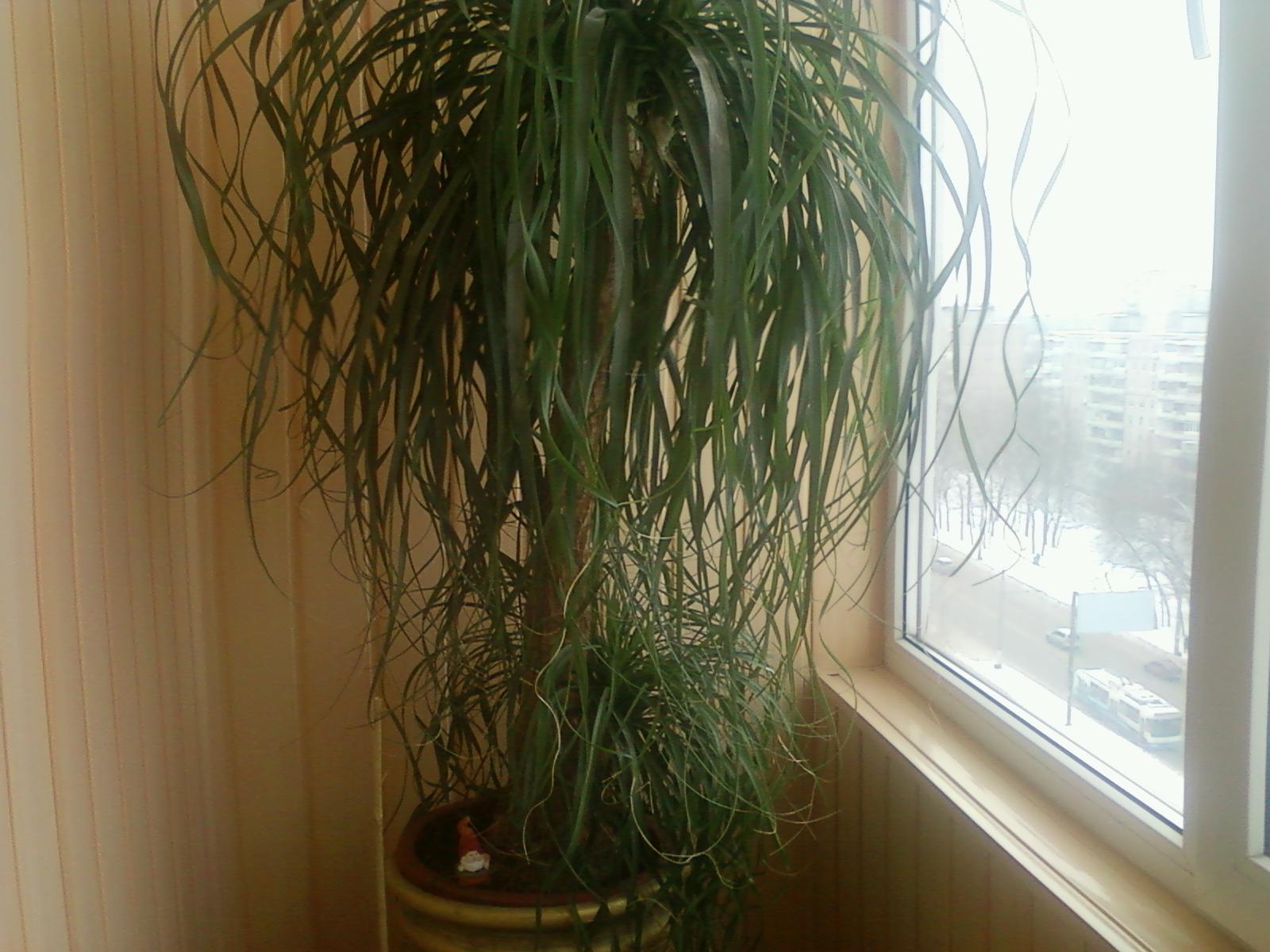 Выращивание за нолиной в домашних условиях