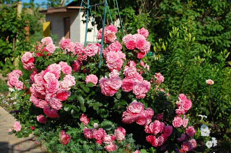 Роза шванензее описание и фото