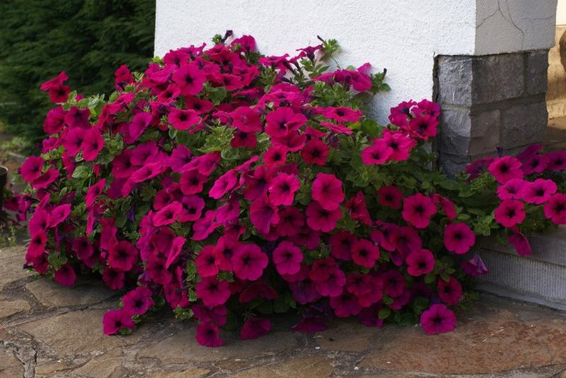 Как правильно осуществлять ампельное выращивание петунии в 96