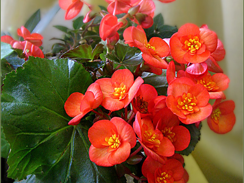 Бегония комнатный цветок