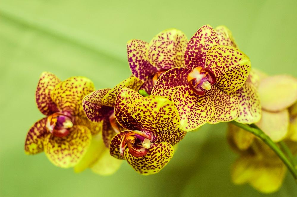 орхидея каттлея уход в домашних условиях с фото