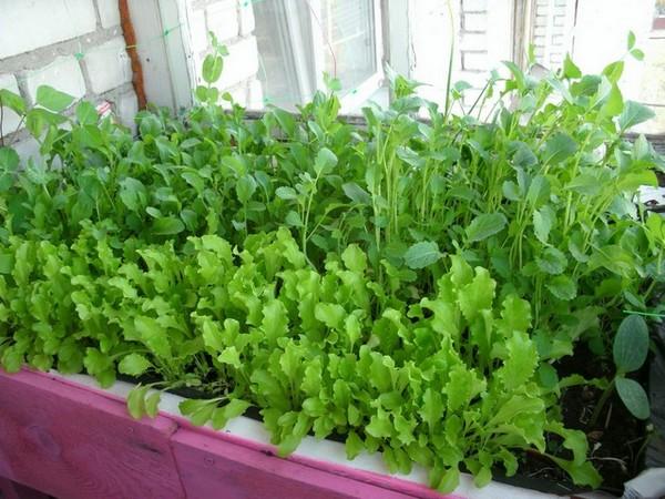 Огород на подоконнике: 5 видов зелени, которые легко вырастить
