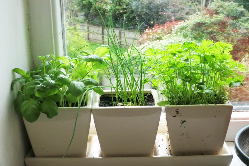 Выращивание укропа на подоконнике зимой без земли 5