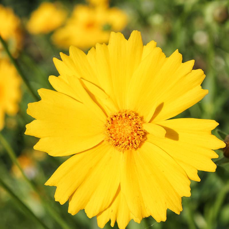 Садовые ромашки желтые