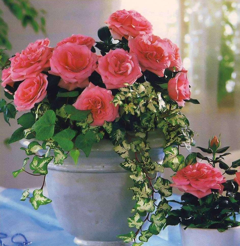 Роза кустовая в горшке уход в