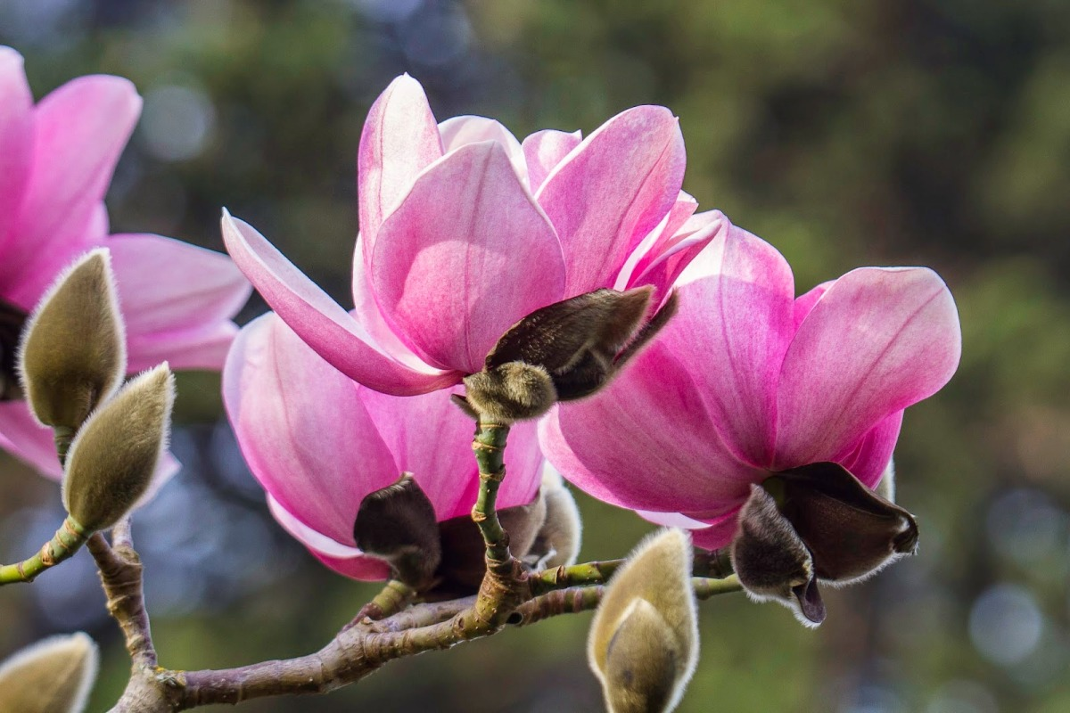 Тюльпановое дерево спатодея колокольчатая Секреты