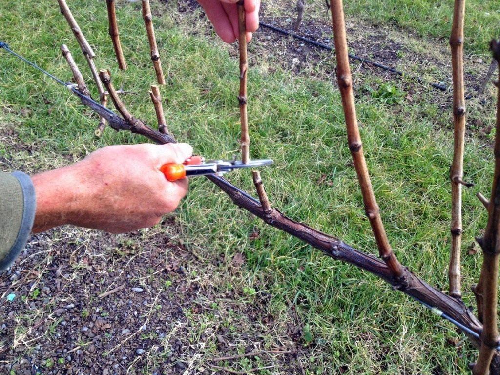 Виноград на Урале - посадка, выращивание, осенняя