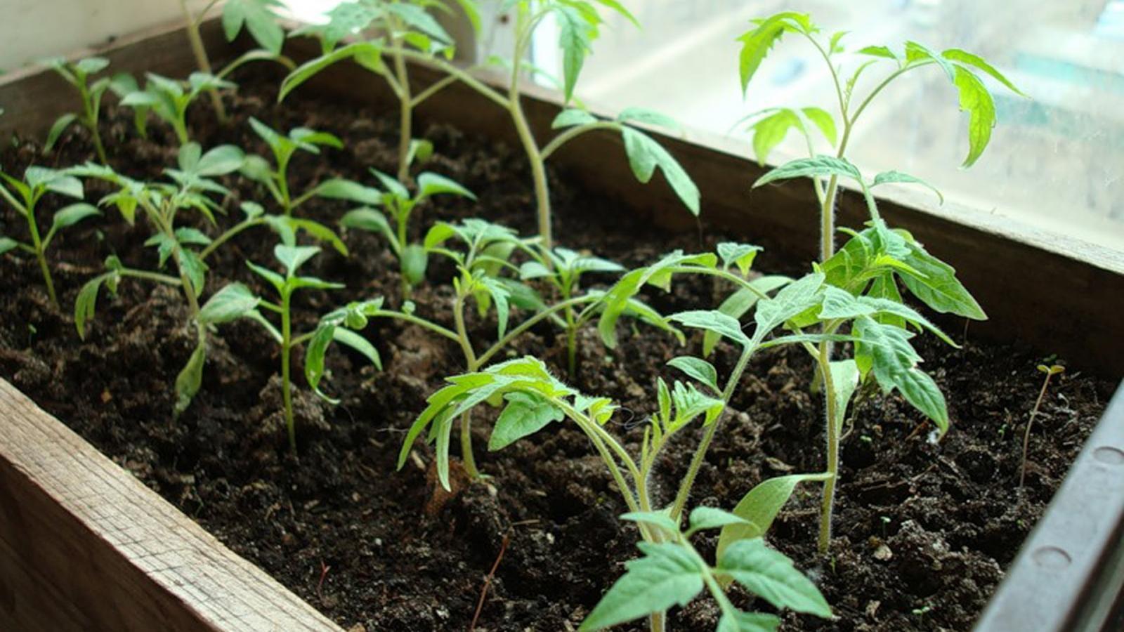 Как правильно освещать рассаду томатов 95