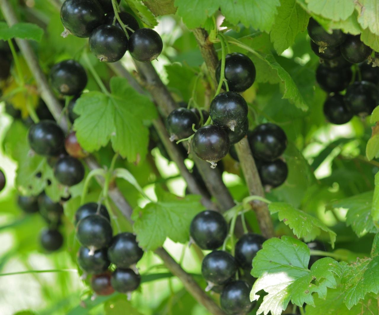 Омоложение смородины — Дачные советы