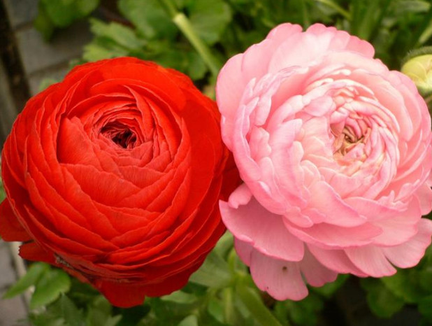 Картинки лютики цветы