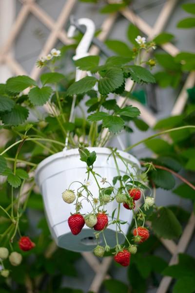 Ароматный урожай. как вырастить клубнику на балконе.