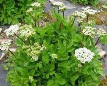 фото растения любисток
