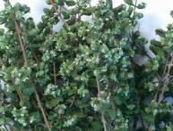 выращивание майорана