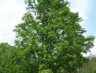 хвойное дерево лиственница
